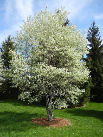 Serviceberry trees are covered in white when they bloom.