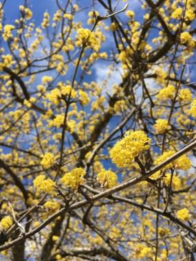 An abundance of tiny yellow flower bundles.