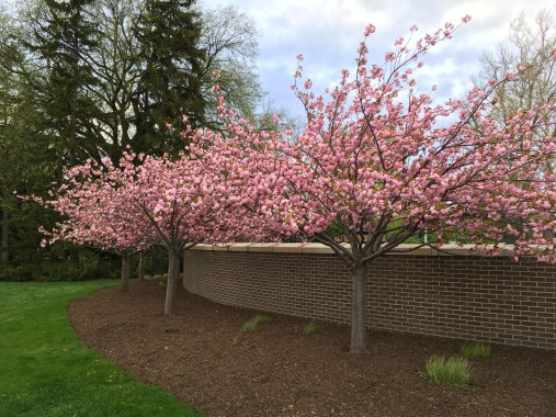 Flowering Cherry trees with double blooms.
