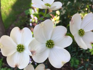 White, four petal Dogwood flowers.