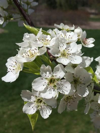 Cluster of 5-petal, white Pear flower.