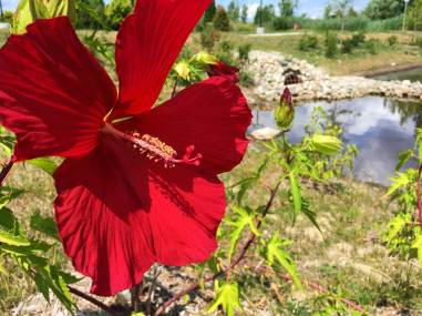 Hibiscus plugs in the detention basin.