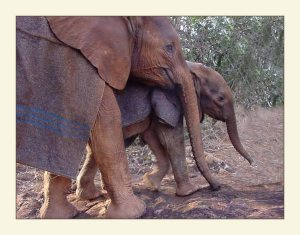Elephant Sheldrick Wildlife Trust