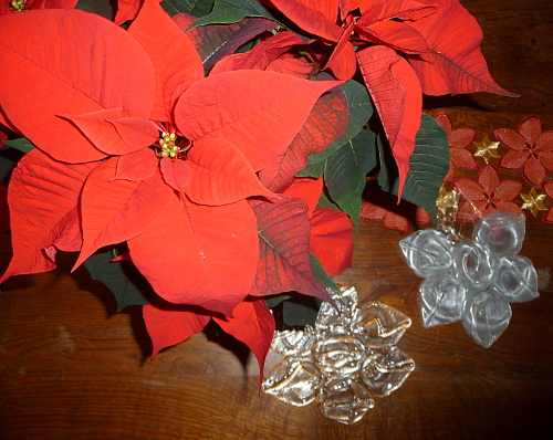 Poinsettia____©Michele Ruffin