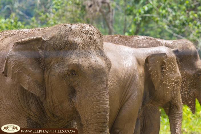 Mud protect the elephant skin from the strong Thai sun and mosquitos