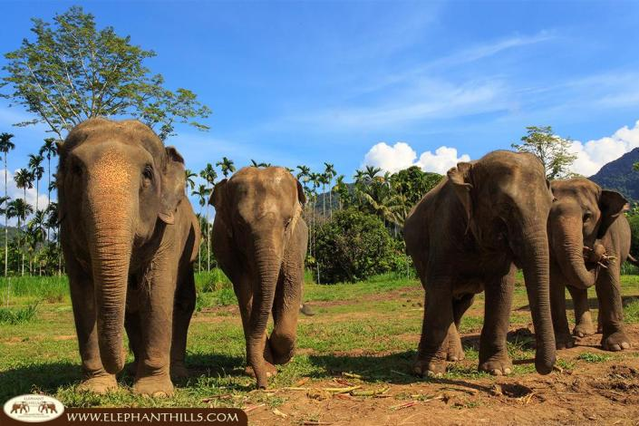 Our free roaming elephants love running around