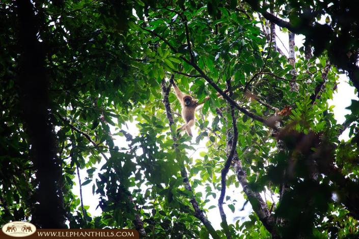 White-handed Gibbon climbing the trees in Khao Sok National Park, Thailand
