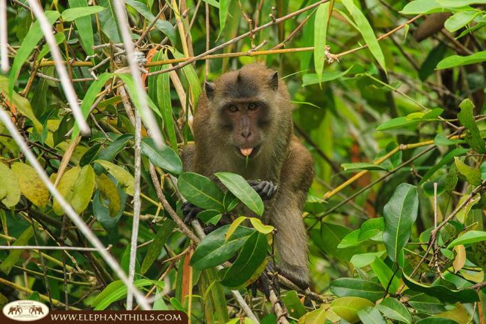 A macaque monkey eating on a tree