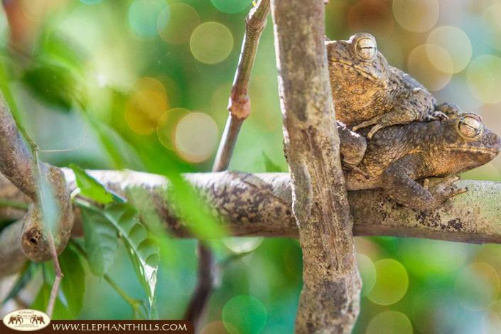 Two toads cuddling and sleeping on a tree at Sok river
