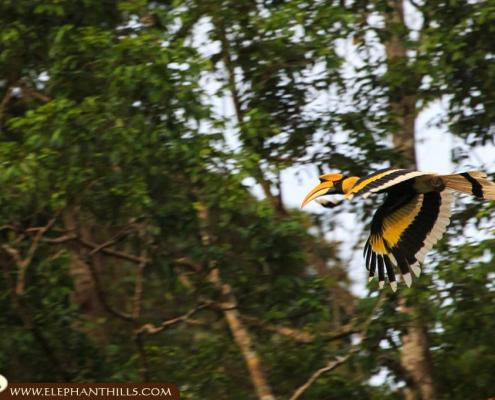 Close shot of a flying great hornbill