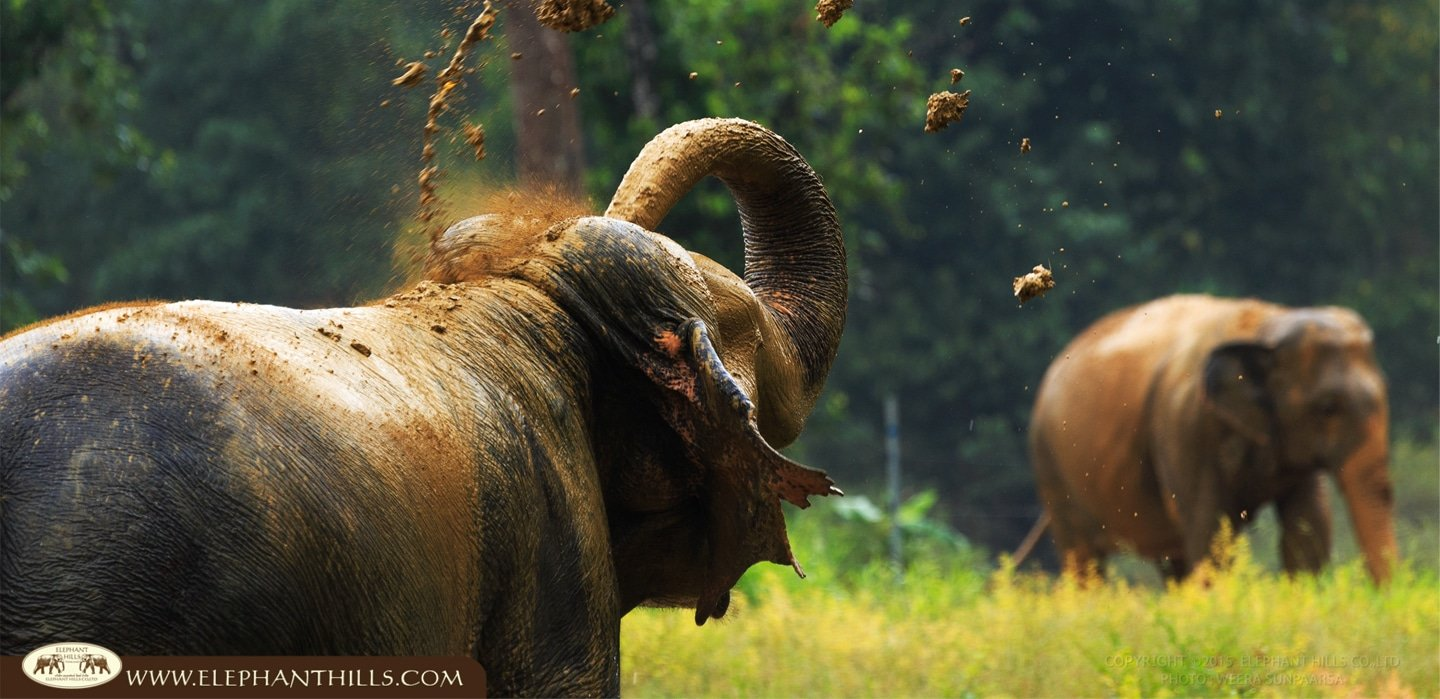 Elephant using mud to protect their skin against the sunburn