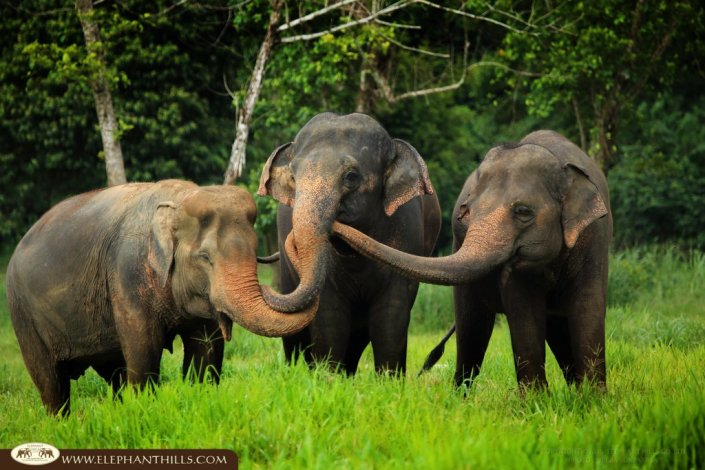 The elephants at Elephant Hills love to play and communicate to each other