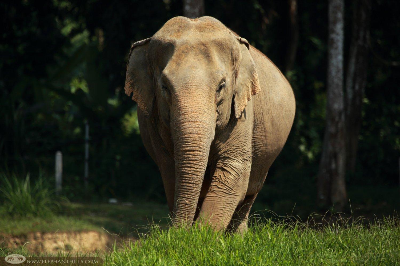 Female elephant at Elephant Hills