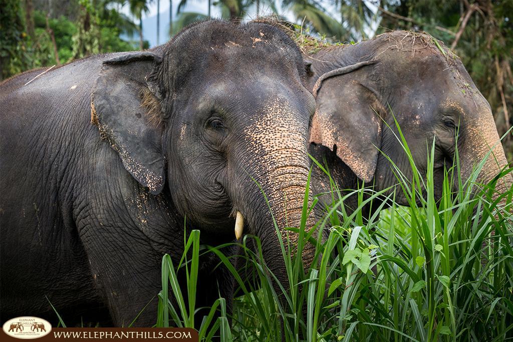 Asian elephants relax at Elephant Hills park in the Khao Sok rainforest