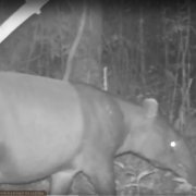 Elephant Hills Wildlife Monitoring Project - Malayan tapir