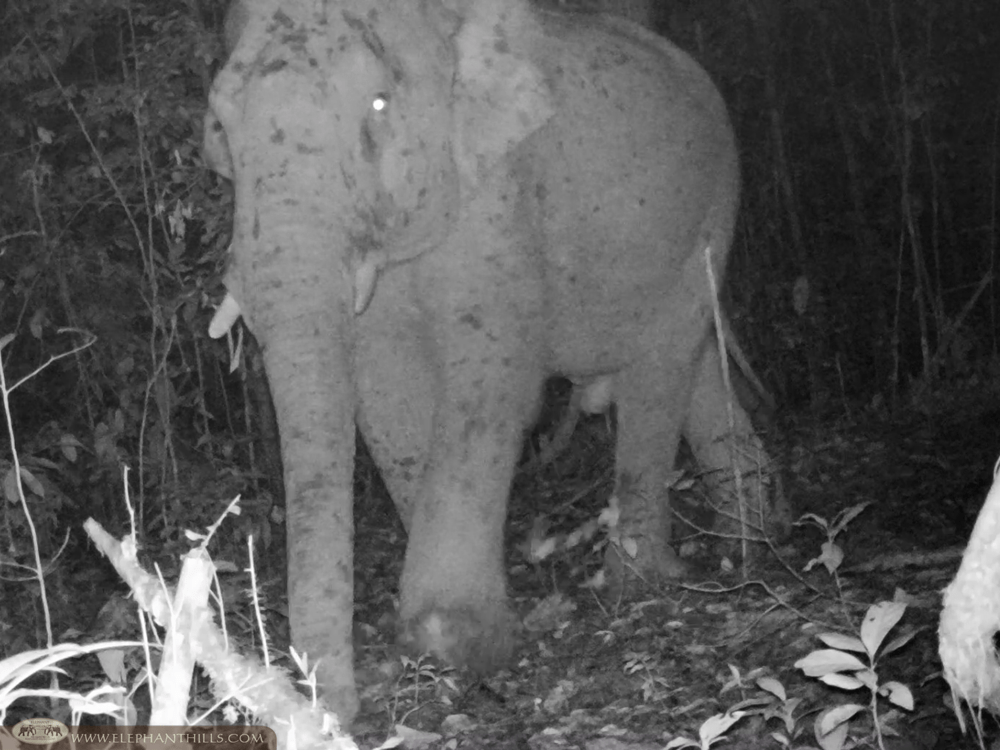 Elephant Hills Wildlife Monitoring Project - Wild male elephant - Khao Sok