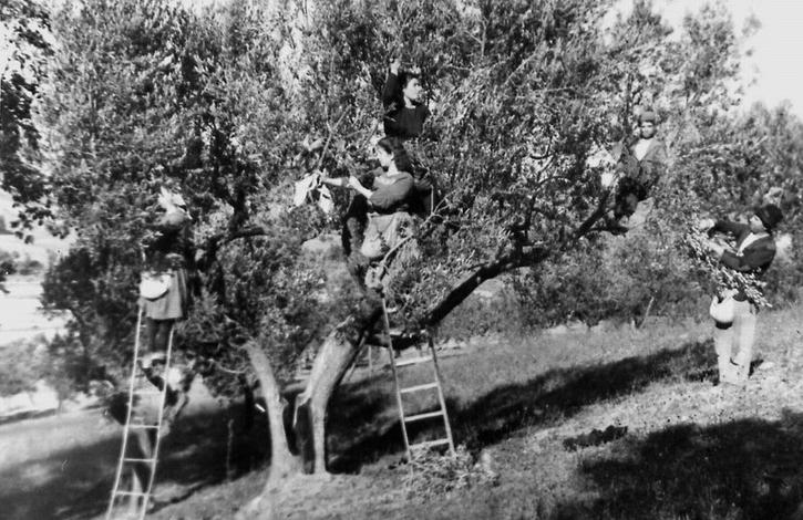 Raccolta olive tradizionale