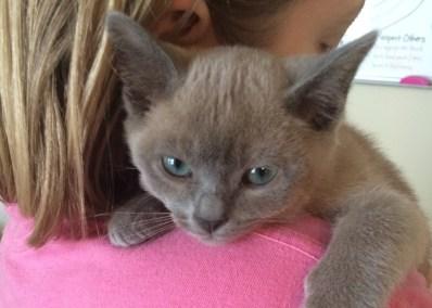 Blue Tonkinese Kitten