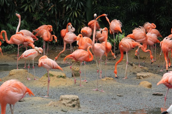 carribean flamingo