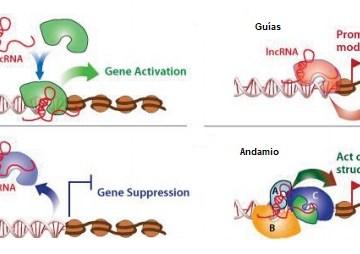 ¿Qué son los lncRNAs?
