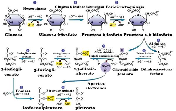 Glucólisis explicada en 10 sencillos pasos