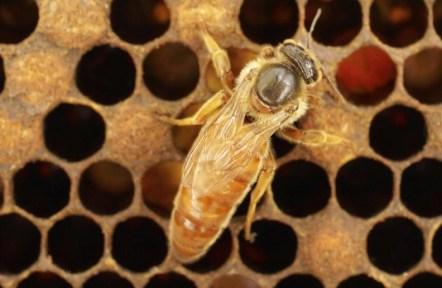 Imagen de una abeja reina