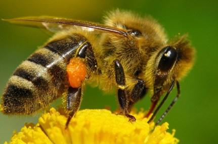 Imagen de una abeja obrera