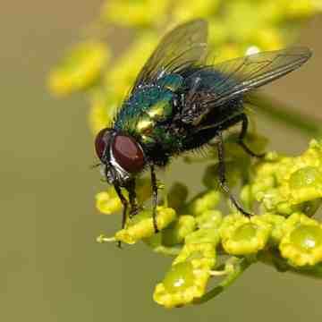¿Por qué las moscas son tan dificiles de pillar?