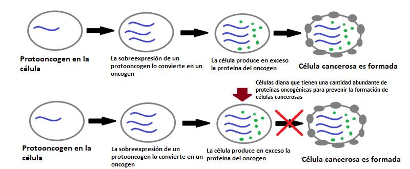 oncogenes células cancerosas protooncogenes