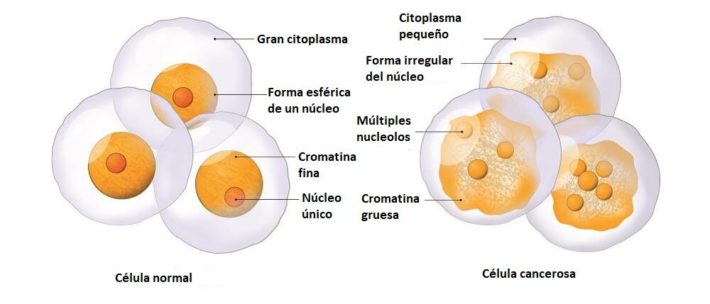 célula normal contra cancerosa