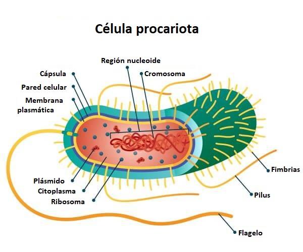 Partes célula procariota