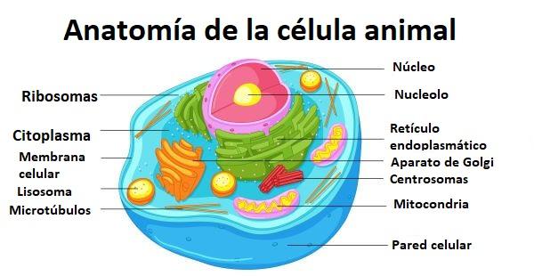 Anatomía célula eucariota animal