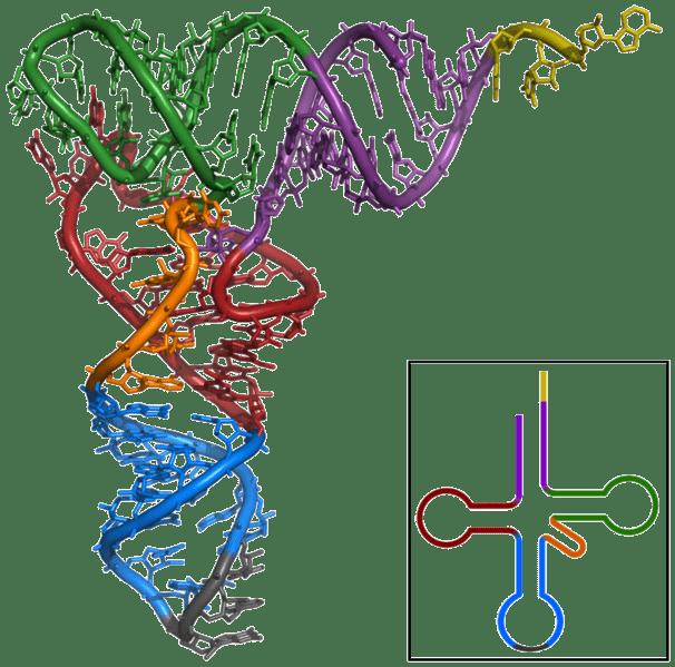 Estructura de rayos X de TRNA-Phe de levadura