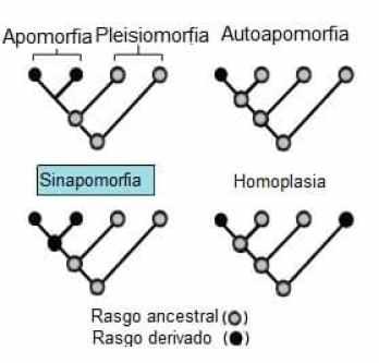 Sinapomorfia