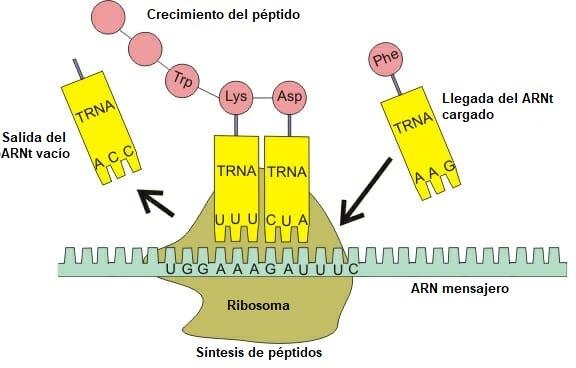 Síntesis de péptidos