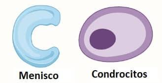 Tejidos conectivos del cartílago