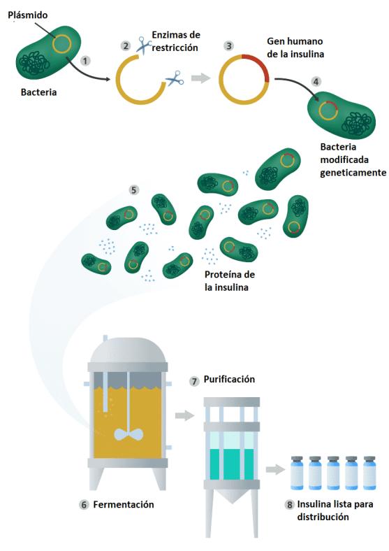 ingeniería genética producción de insulina