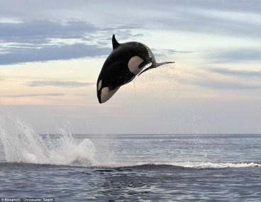 Orca persigue a un delfín