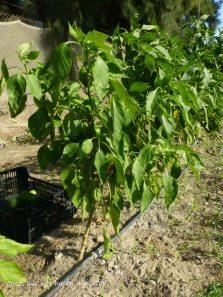 #pimientos #morrones #mini #naranjas #cultivo #macetohuerto