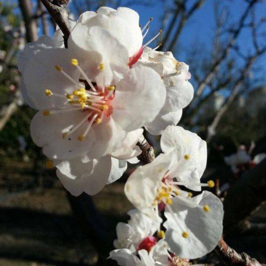 damasco en flor