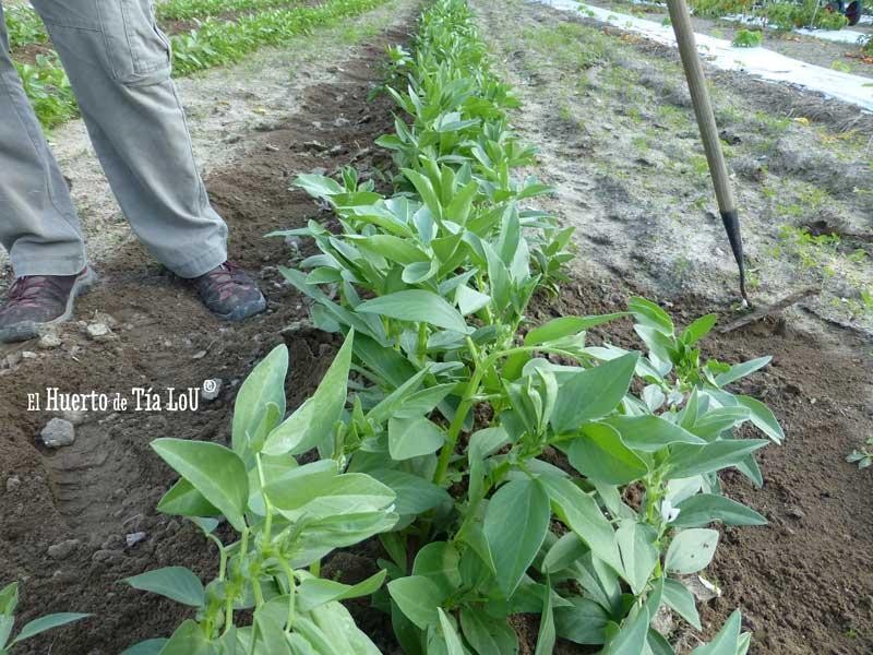 El cultivo de habas (2)
