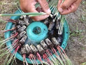 La siembra de la cebolla desde el cebollino o plantón