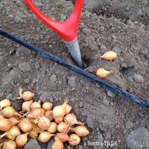 La siembra de la cebolla desde bulbos