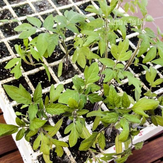 Cultivo de tomates ecológicos.
