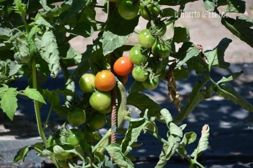 Tomates con sabor casi a punto_El huerto de Tia Lou