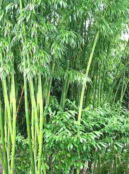 Bambù Poaceae Come Curare E Coltivare Le Piante Di Bambù