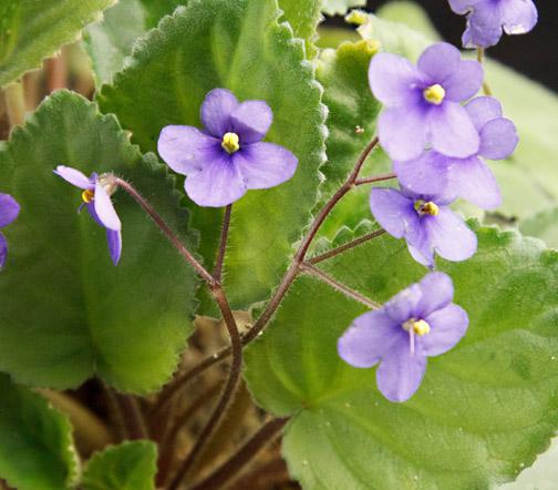 Violetta Violetta Africana Saintpaulia Gesneriaceae