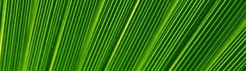 Detail photo of a palm leaf.