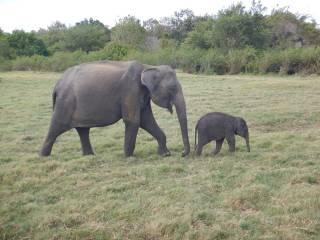 Sri Lanka Minneriya National Park