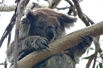 Koala sur la Great Ocean Road